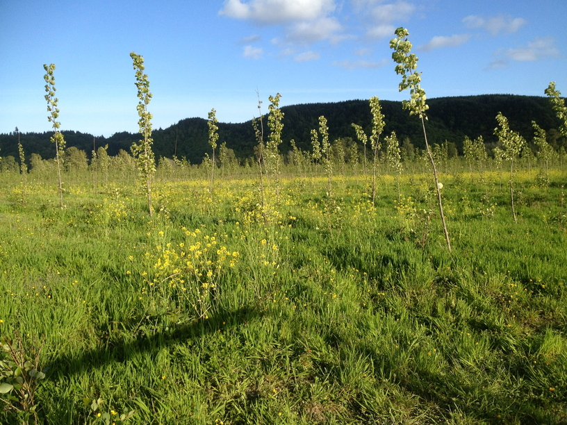 A-different-Populus-sps-surrounded-by-yellow-mustard-flowers_Field-lunch-site_Clatskanie